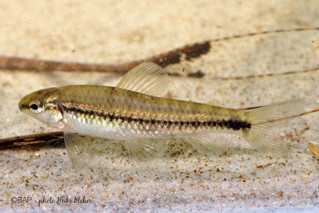 Characidium sp., Cano Giramena, Rio Meta basin. ©BAP, photo H. Bleher