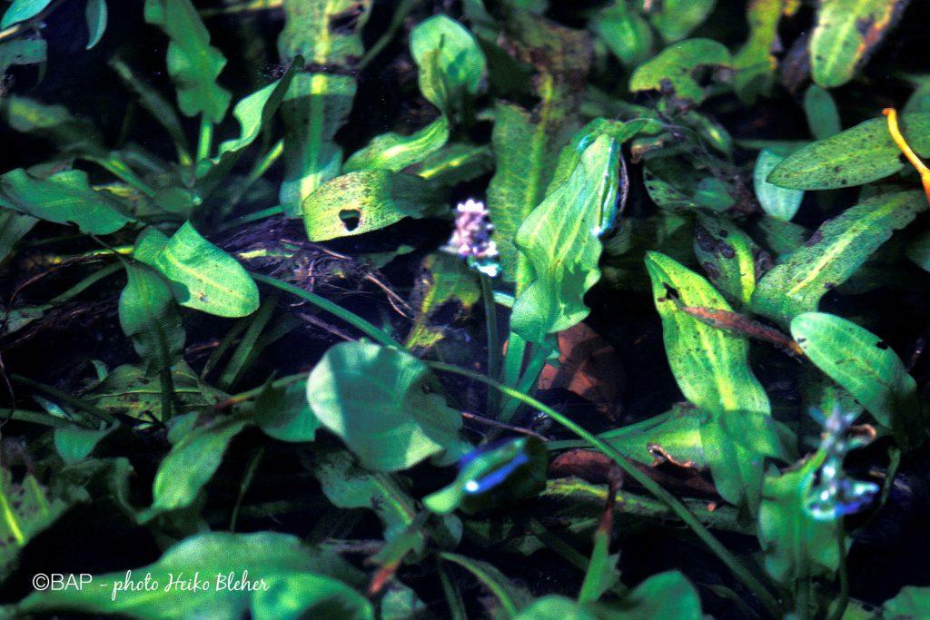 Echinodorus marthi, wild, Rio Araguaia basin, Brazil. ©BAP, photo H. Bleher