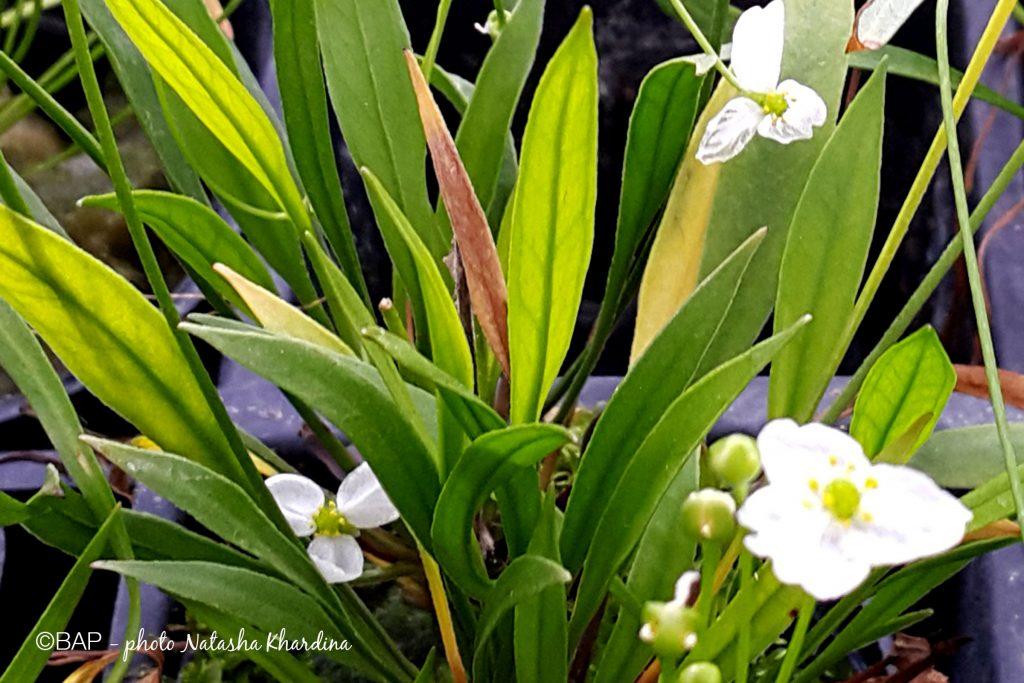 Echinodorus tenellus. ©BAP, photo N. Khardina