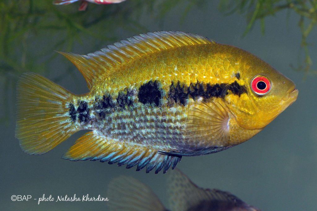 Herotilapia multispinosa. ©BAP, photo N. Khardina