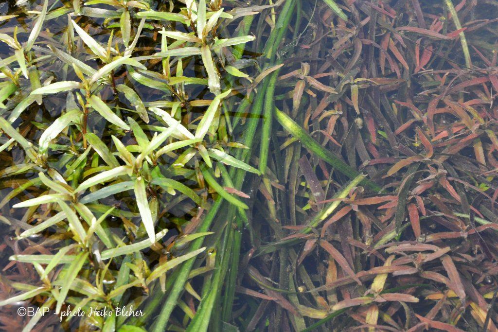 Hygrophila corymbosa, Li River, South China. ©BAP, photo H.Bleher