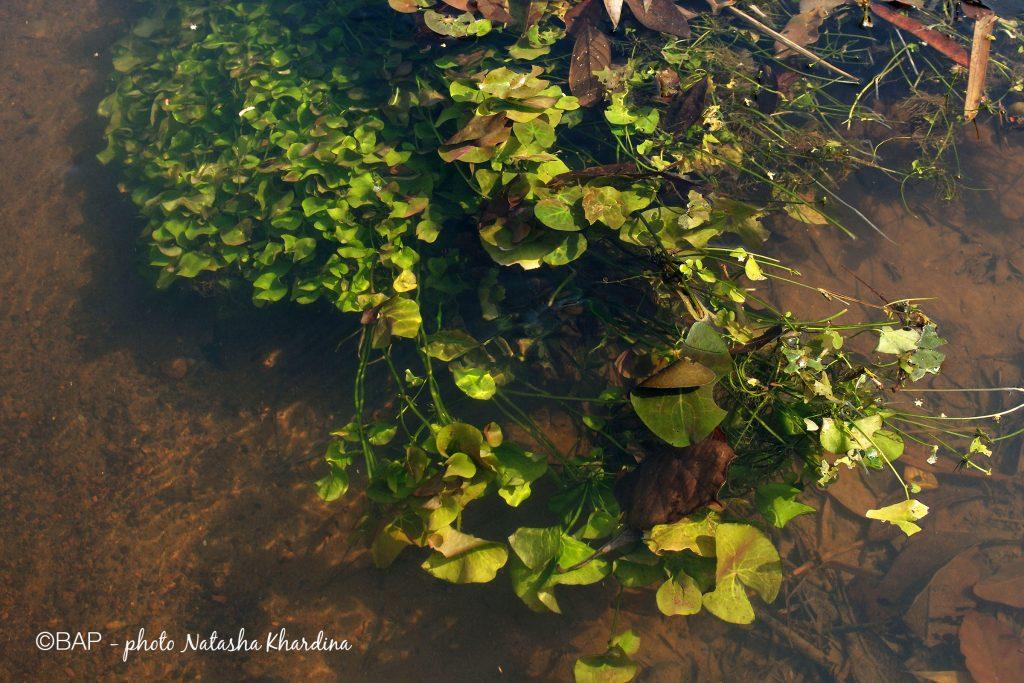 Nuphar sp., Anjarakandy River, Nirvel, Kerala. ©BAP, photo N. Khardina