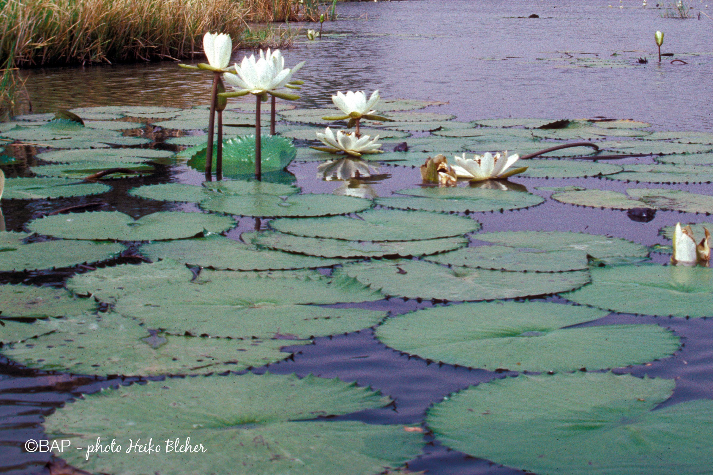 Nymphaea sp., Lower Niger, Nigeria. ©BAP, photo H. Bleher