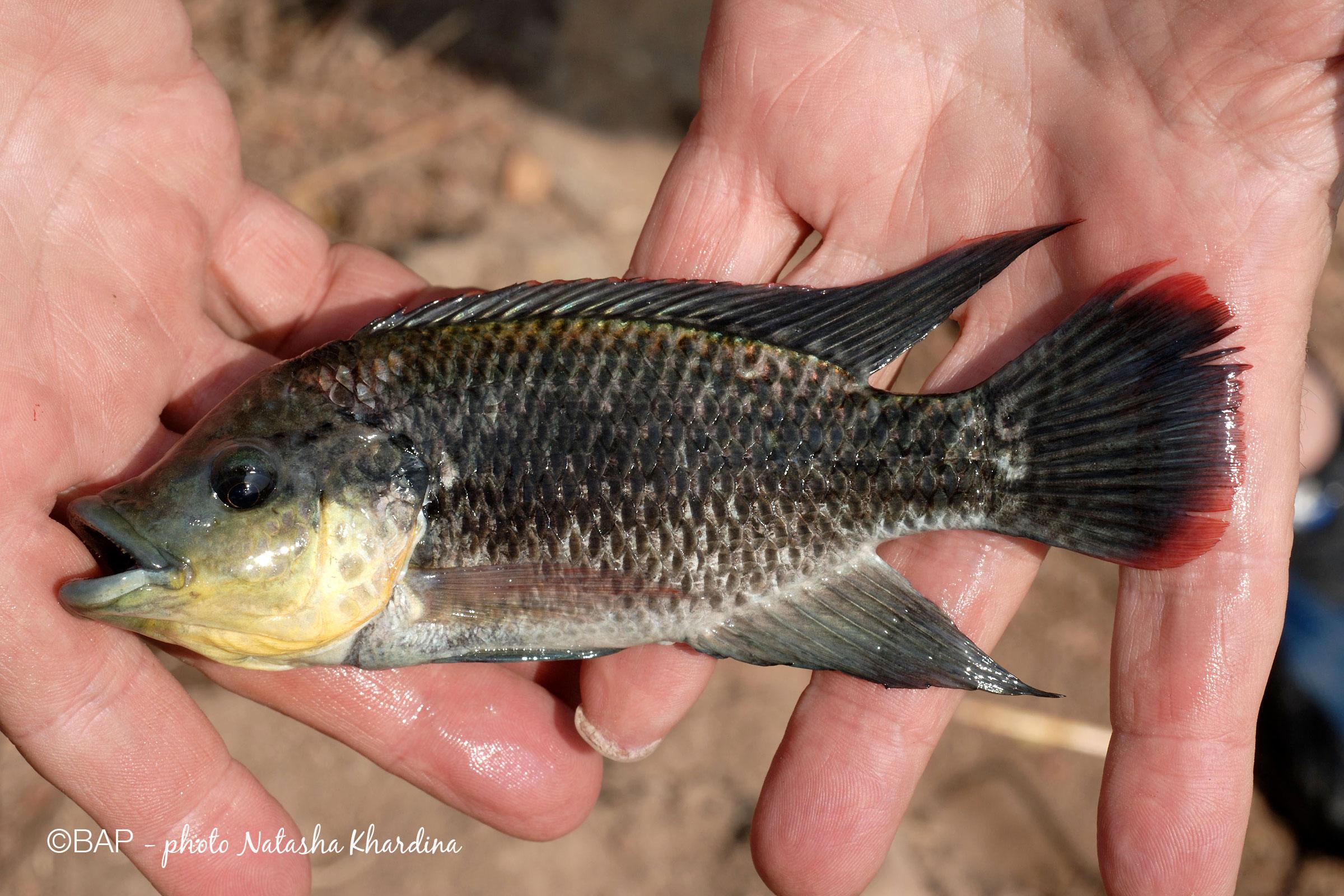 Oreochromis mossambicus, Panvel Creek, Maharashtra. ©BAP, photo N. Khardina