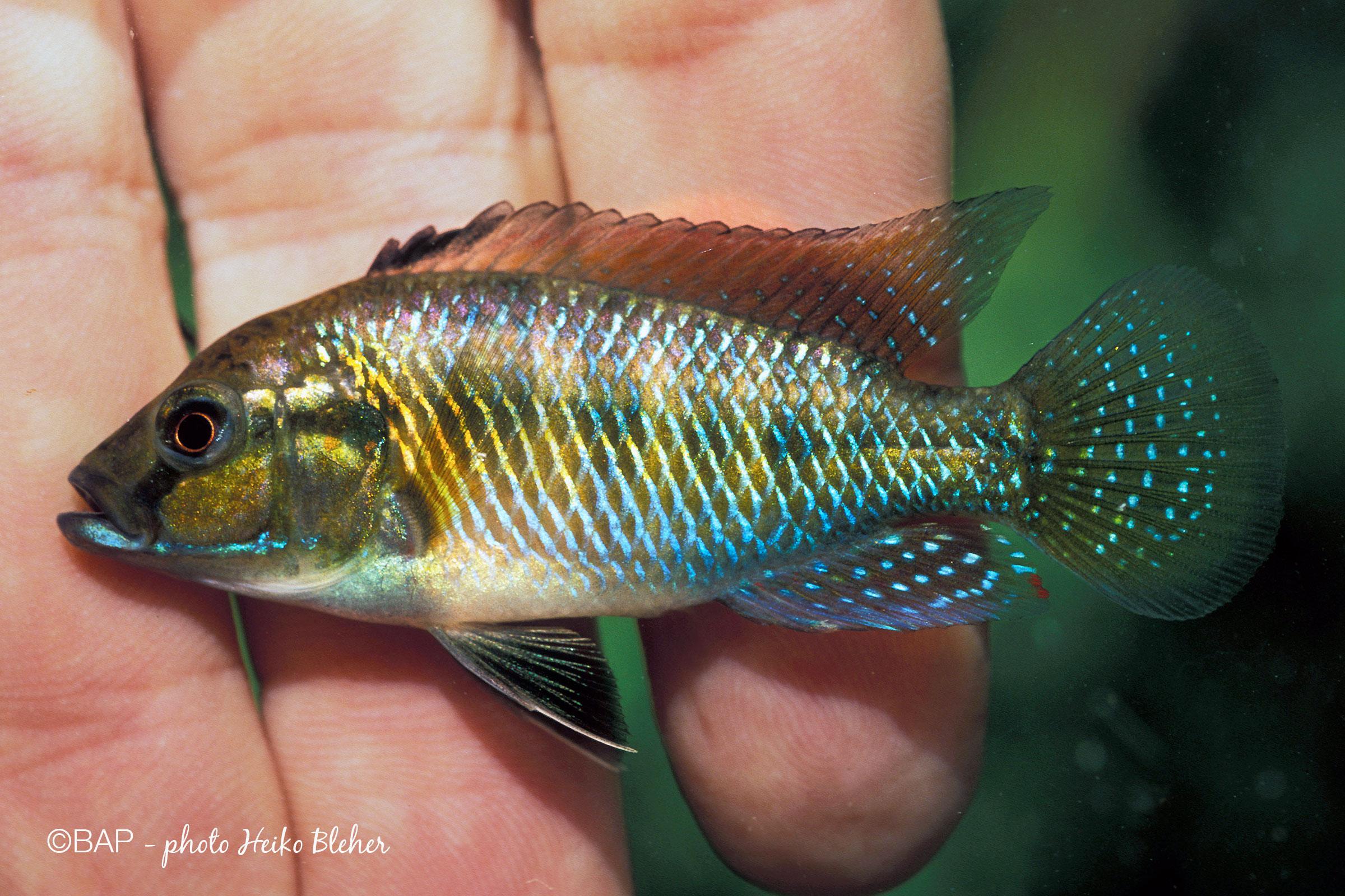 Pseudocrenilabrus philander var. 3, male, Nyamwale stream, Mozambique. ©BAP, photo H. Bleher