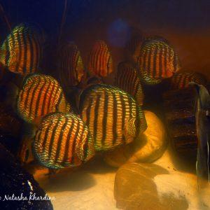 Symphysodon haraldi, Lago Cuipeua, Amazonas, Brazil. ©BAP, photo N.Khardina