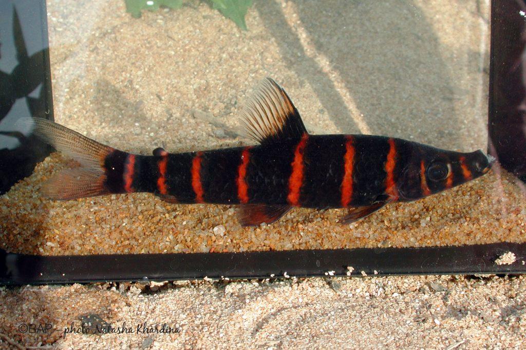 Synaptolaemus latofasciatus, Rio Iriri. ©BAP, photo N. Khardina