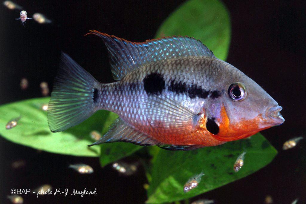 Thorichthys meeki. ©BAP, photo H.-J. Mayland