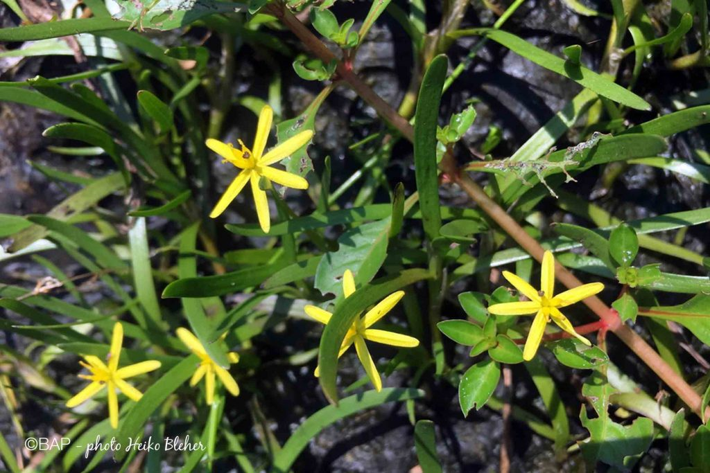 Heteranthera dubia. @BAP, photo by H. Bleher