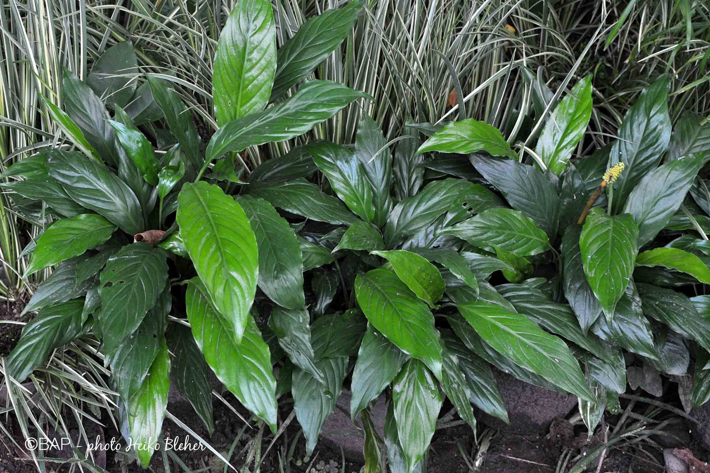 Spathiphyllum wallisii. Photo by H. Bleher