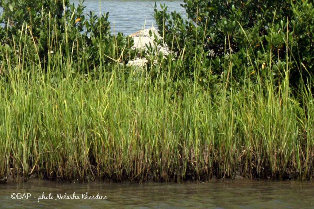 Typha angustifolia, Galveston Bay area, USA. Photo by N. Khardina