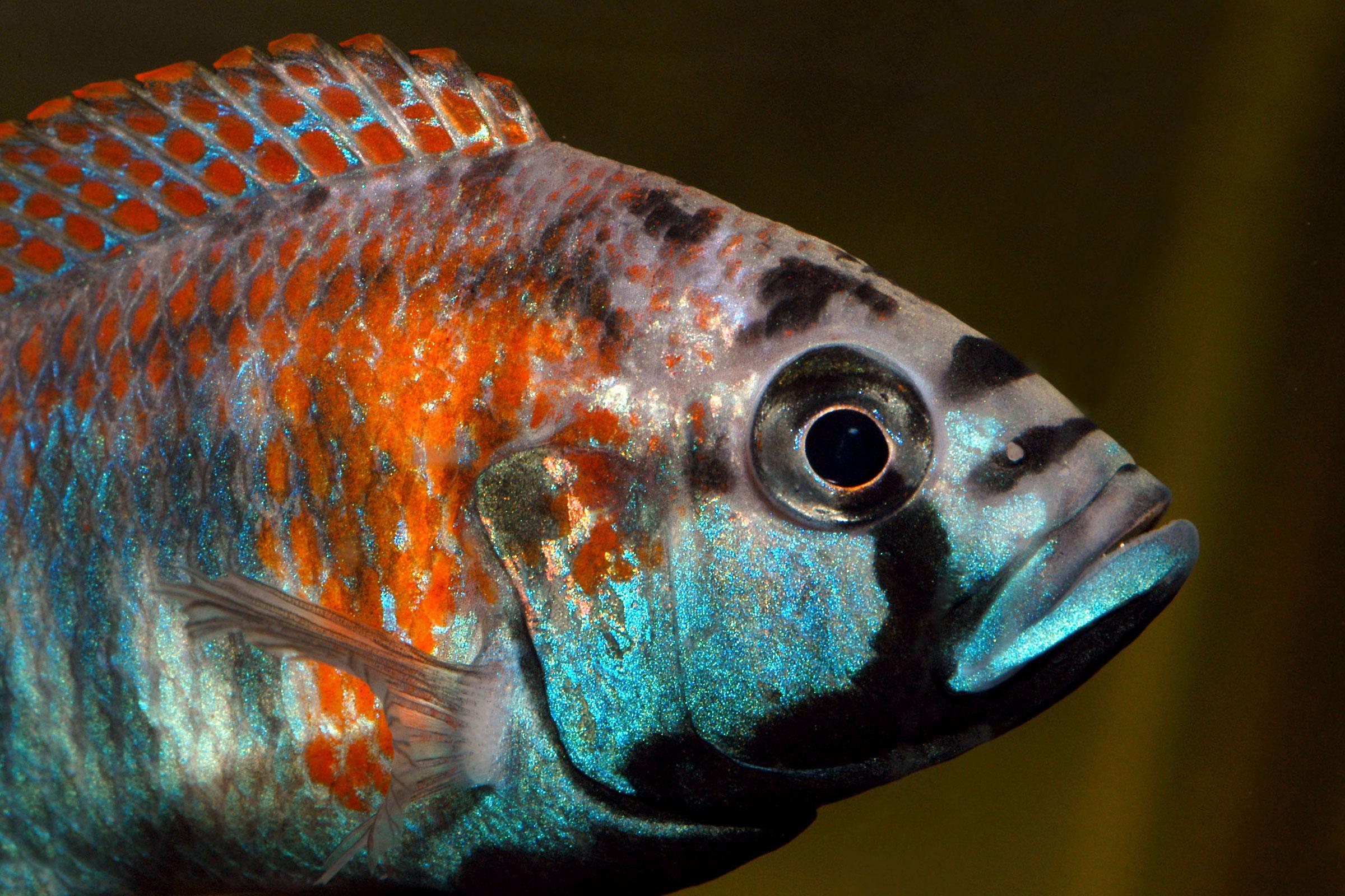 Haplochromis cf. nirea, Victoria Lake. ©BAP, photo N. Khardina