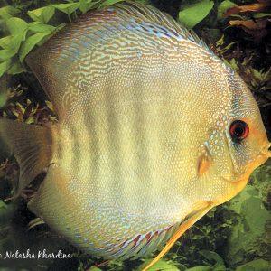 Symphysodon haraldi – Definitive Discus Guides. ©BAP, photo N. Khardina