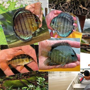 Red-eye Green Discus from Rio Apaporis