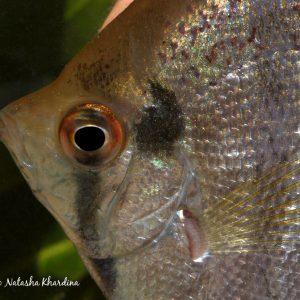 Pteropyllum from Rio Apaporis, Colombia. ©BAP, photo N. Khardina