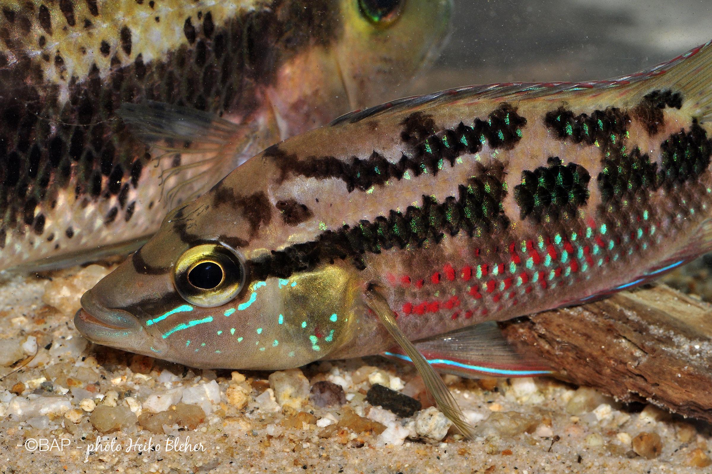 Trichromis salvini, Arroyo El Cabro, Chiapas, Mexico. ©BAP, photo H. Bleher
