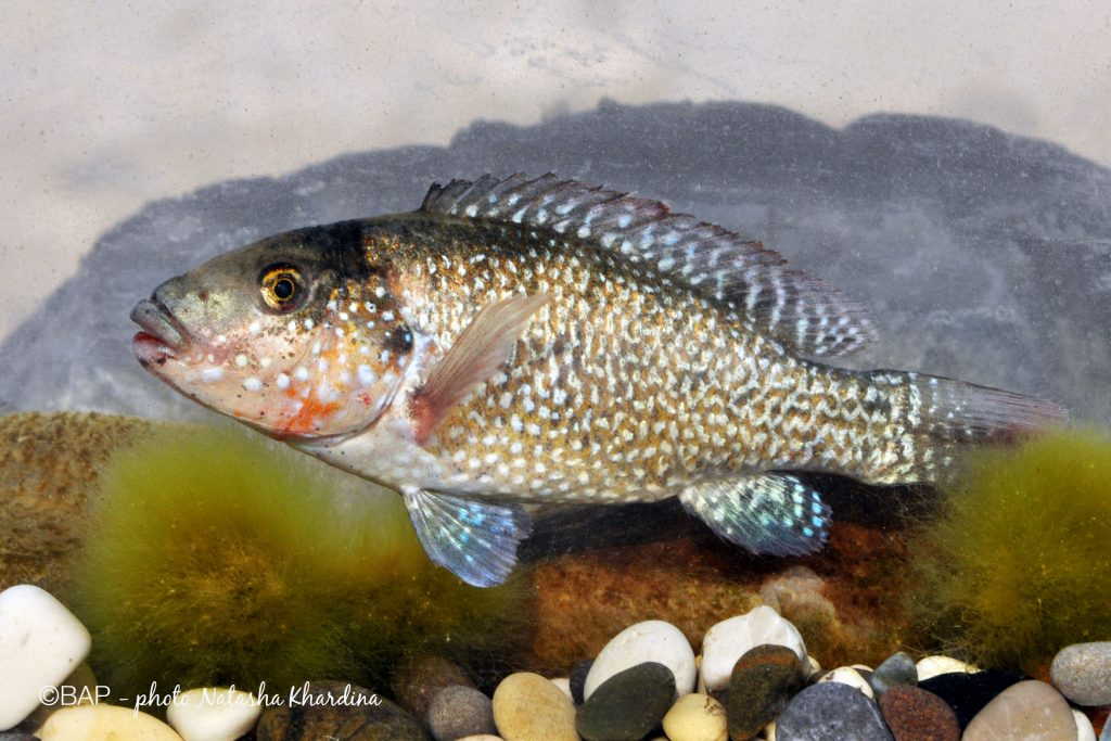 Iranocichla hormuzensis, male, between Bandar-Abbas and Hadji-Abad, coll.10, Iran. ©BAP, photo N. Khardina
