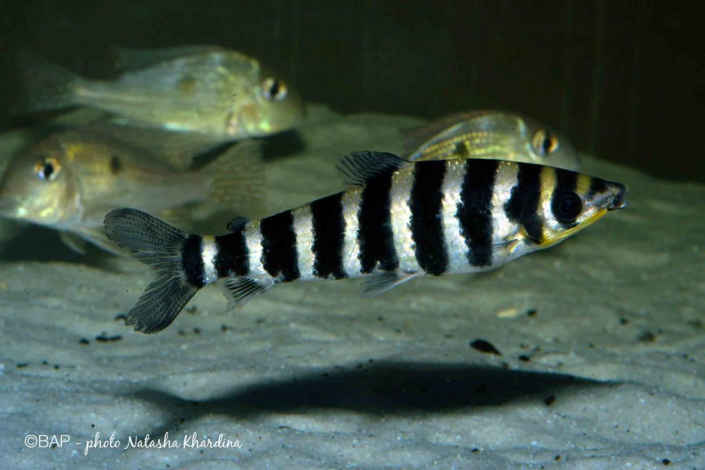Leporinus fasciatus, Lago Apuì, Rio Trombetas, Brazil. ©BAP, photo N. Khardina