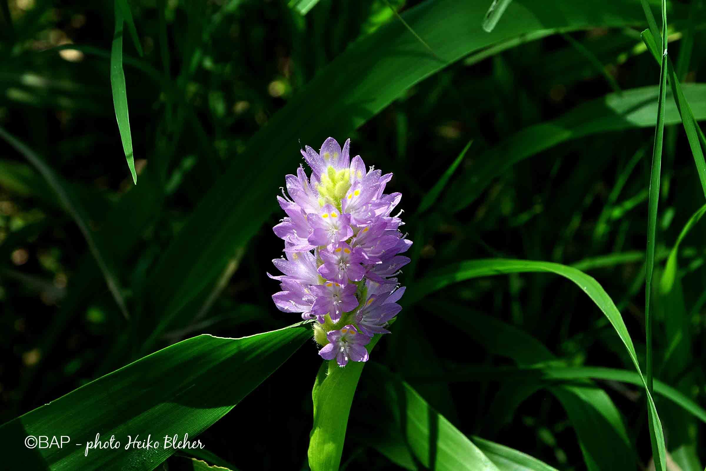 Pontederia (Eichhornia) sagittata, Rio de Cortez, FO4, Mexico. ©BAP, photo H. Bleher