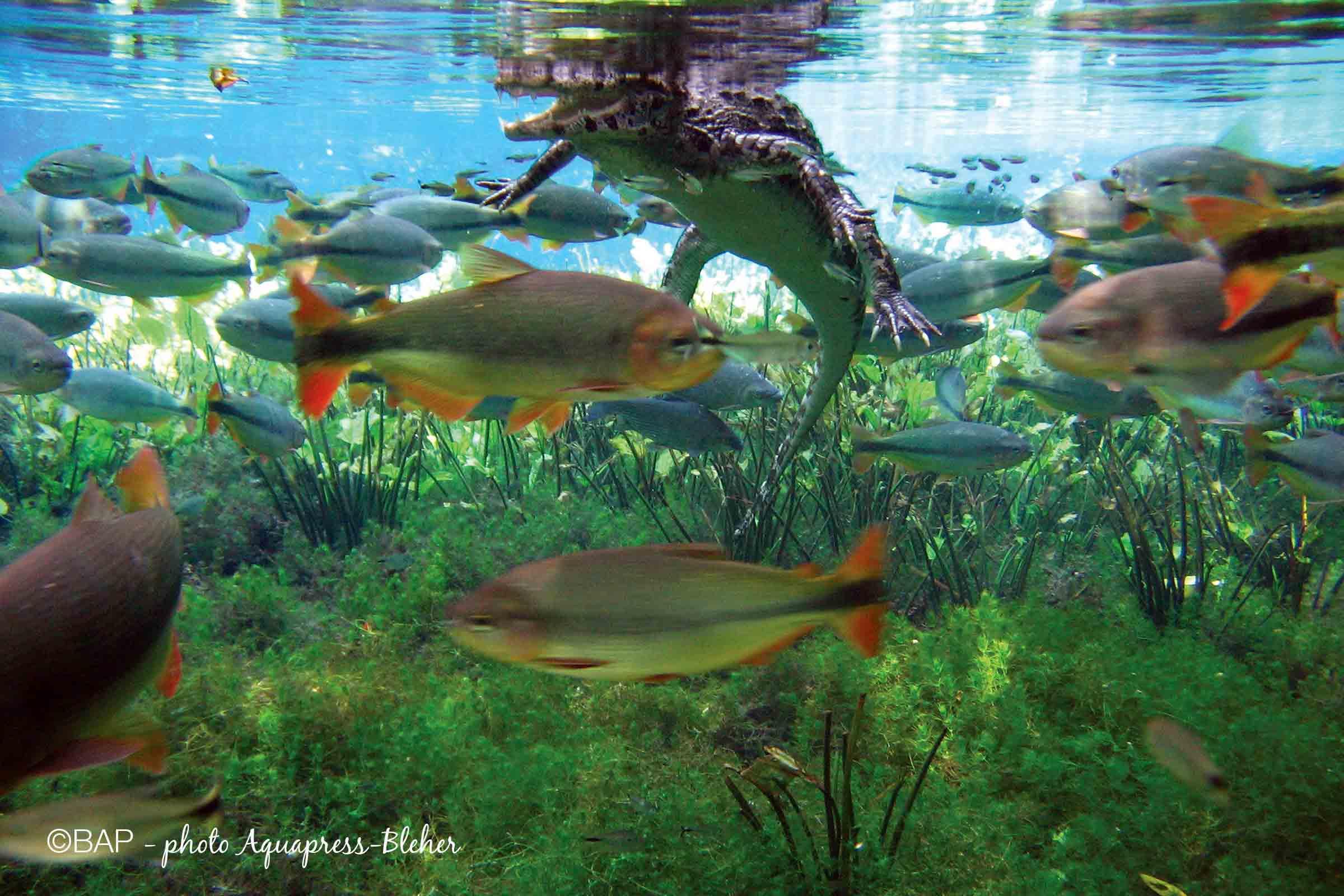 Brycon hilarii, Rio Formoso, Pantanal, Brazil. ©BAP, photo Aquapress-Bleher