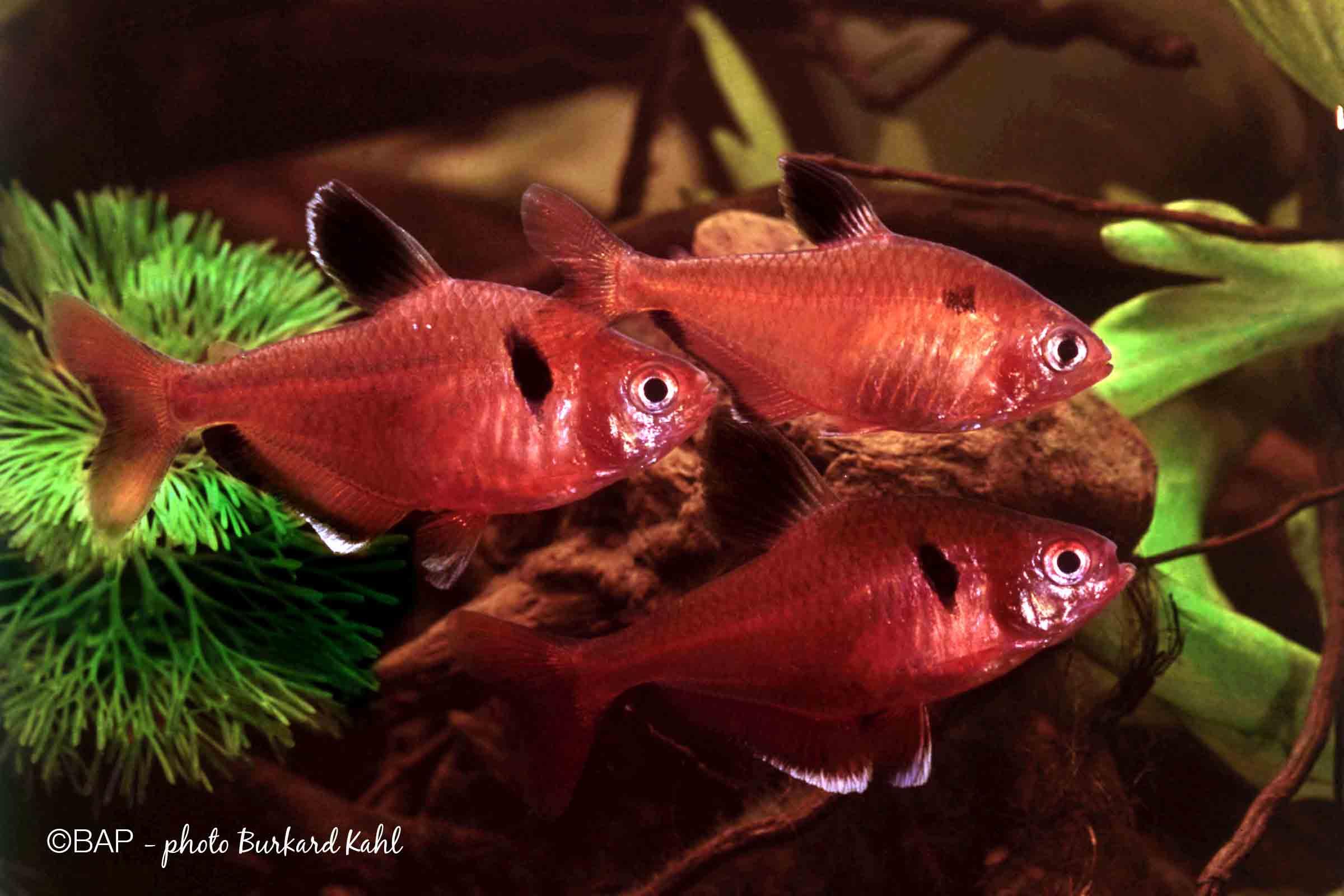 Hyphessobrycon callistus, Pantanal, Brazil. ©BAP, photo B. Kahl