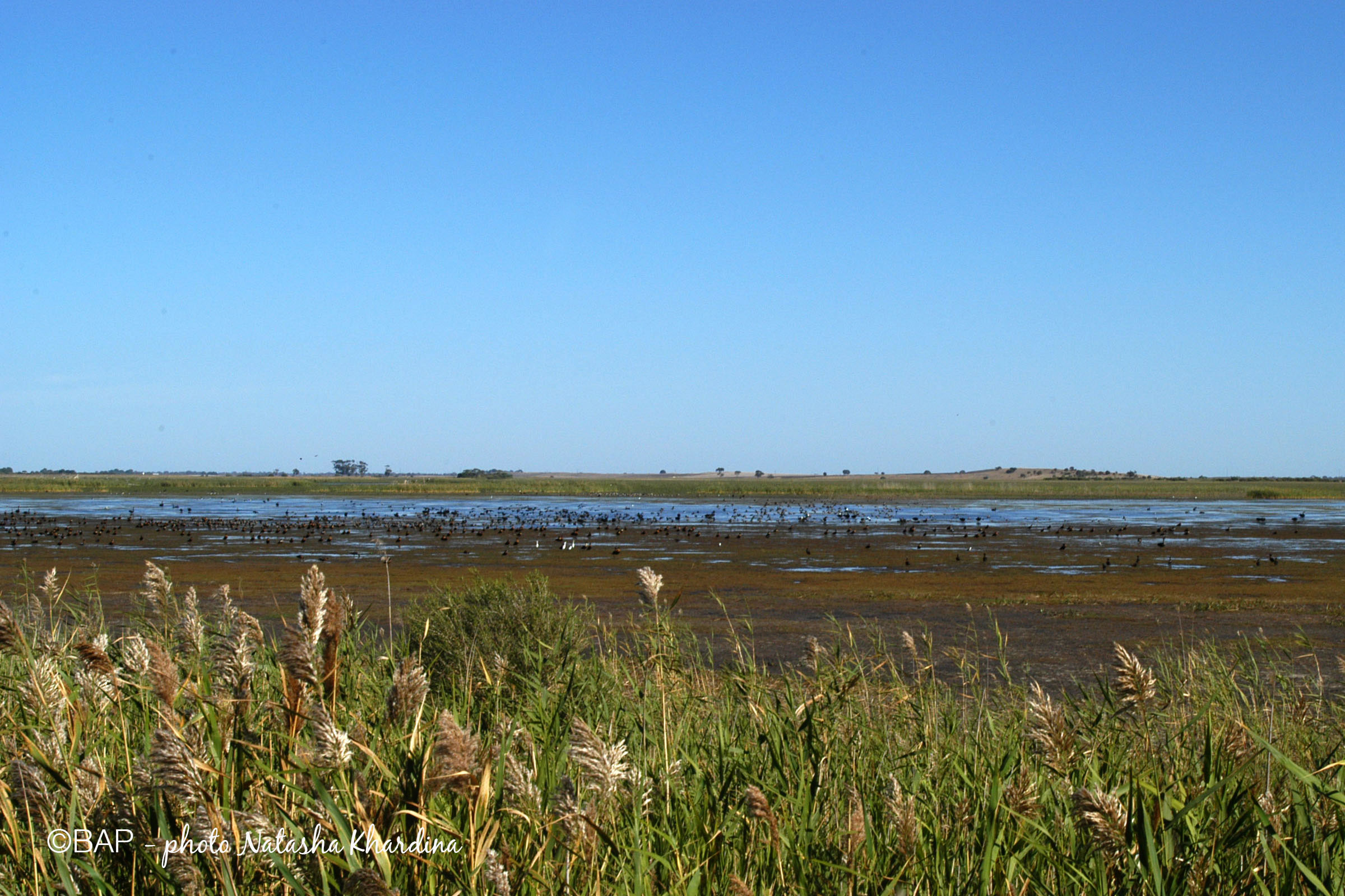 Phragmites australis, Bool Lagoon. photo by N. Khardina