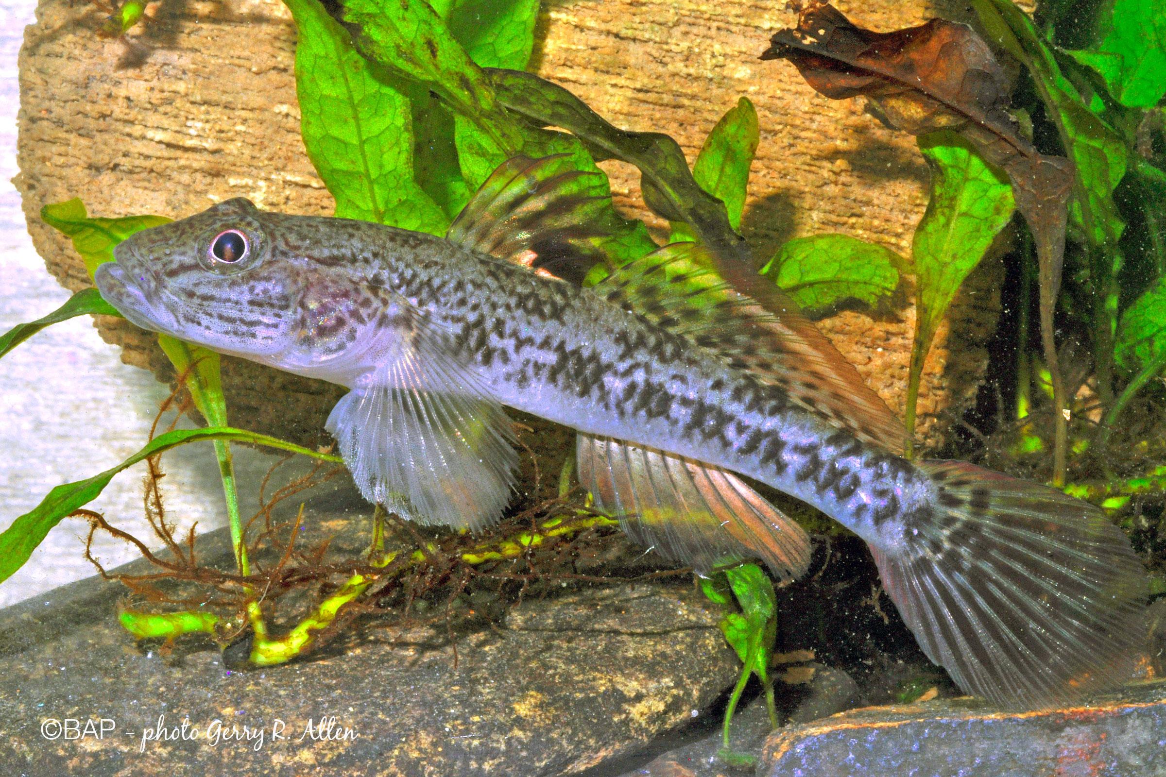 Glossogobius sp. 1, Sungai Sin, Aru Archipelago, Indonesia. ©BAP, photo Gerry R. Allen
