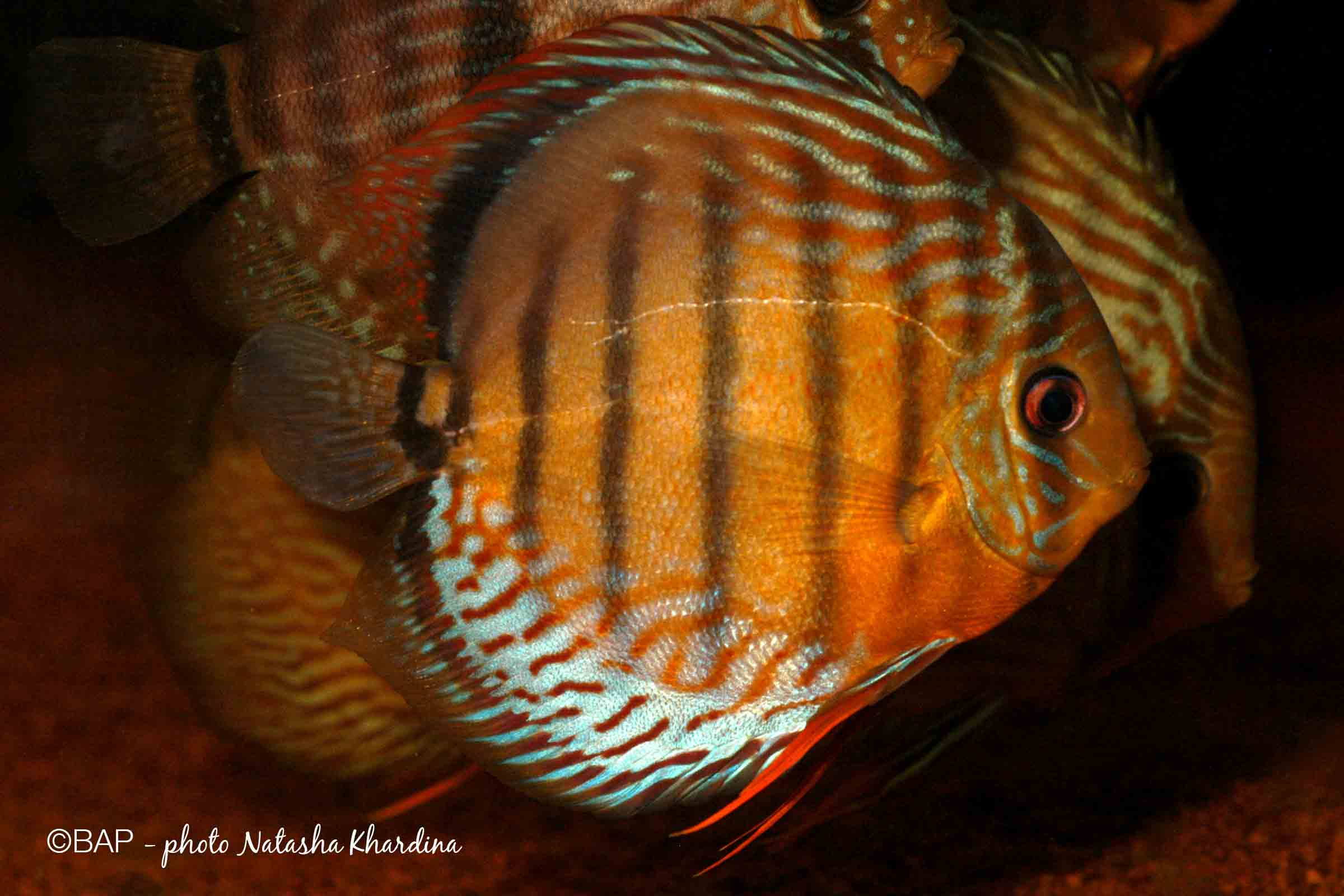 Symphysodon haraldi. ©BAP, photo N.Khardina