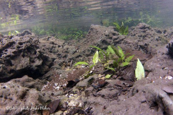 Underwater-Cryptocoryne habitat in Sungai Loramar. Photo by H. Bleher