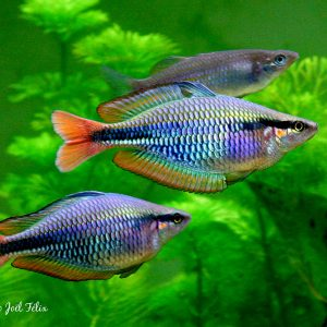 Melanotaenia picta, discovered in 2007 by H. Bleher in the Sungai Mareremar, Kobroor Island, Aru Islands, and here a aquarium photograph of wild males with approximately 80 cm in SL after long period in captivity. Photo by J. Felix.