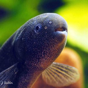 Brienomyrus brachyistius_adult_detail_Kindia_Guinea, Aquapress/H.-J. Richter